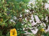Calibrachoa (Zauberglöckchen)