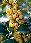 Ilex aquifolium ' Bacciflava ' (Stechpalme)