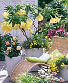 Brugmansia aurea (Engelstrompete)