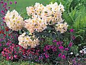 Rhododendron ' Bernstein '
