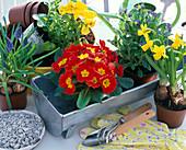 Zutatenstil: ' Zinkrinne bepflanzen ' : Primula (Primel) ...