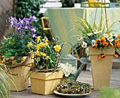 Aquilegia caerulea 'Spring Magic' / Akelei, Narcissus lobularis
