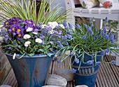 Blaue Töpfe mit Primula acaulis / Kissenprimel, Myosotis / Vergißmeinnicht, Bell