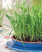 Gekeimtes Weizengras
