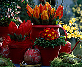 Tulipa 'Red Paradise' + 'Flair', Salix caprea 'Pendula', Primula / Kissenprimel,