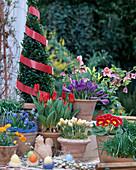 Buchs, Tulipa kaufmanniana 'Showwinner', Helleborus orientalis, Crocus 'Remembra