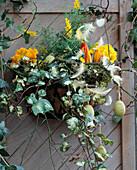 Eisenschale als Wandgefäß mit Kokosmatte ausgekleidet mit, Primula, Cytisus / Gin
