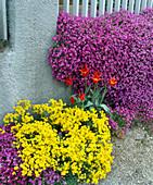 ALYSSUM saxatile (Steinkraut), Tulipa (Lilienblütige Tulpe),