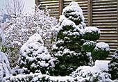 Picea glauca ' Conica ' (Zuckerhutfichten)