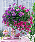 Petunia Surfinia ' Sky Blue ' - ' Crazy Pink ' (Petunie)