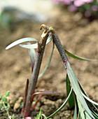 Schneckenfraß an Lilie