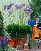 Agapanthus (Afrikanische Schmucklilie)