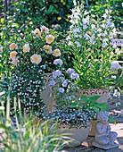 Rosa ' The Pilgrim ' (Engl. Rose), Malva (Malve)