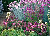 Dianthus plumarius (Federnelke)