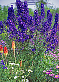 Delphinium belladonna ' Blue Papillon ' (Rittersporn)