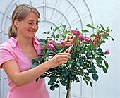 Verblühte Blüten an Rosa (Rosenstämmchen) abschneiden
