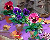 Viola Matrix ' Sunrise ' ' Blue Blotch ' , Viola Panola ' Rose Picotee '