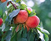 Prunus ' Amber var. Pixzee ' (Zwergpfirsich)