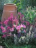 Agastache ' Lavender Haze ' (Duftnessel)
