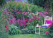 Echinacea (roter und weißer Sonnenhut)
