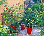 Abutilon (Schönmalve), gelb und orange, Hedera (Efeu), rote Töpfe