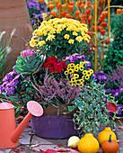 Chrysanthemum (Chrysanthemen), Aster ' Sapphire ' (Kissenaster), Calluna