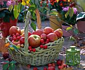 Grüner Weidenkorb mit Henkel, gefüllt mit Malus (Äpfel, Zieräpfel)