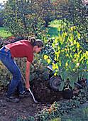 Junge Frau pflanzt Davidia involucrata (Taubenbaum)
