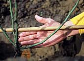 Rose ' Flash Meidiland ' ins Beet pflanzen: 6/9