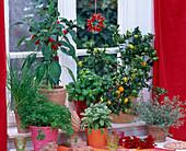 Citrus ' Chinotto ' (Bitterorange), Capsicum (Chili), Ocimum (Basilikum)