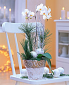 Phalaenopsis (Malayenblume, Schmetterlingsorchidee), Pinus (Kiefer)