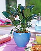 Ficus elastica ' Decora ' (Gummibaum) im blauen Topf