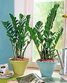 Zamioculcas zamiifolia (Tropenwurz) in konischen Töpfen, bunter Kies, Tassen