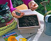 Helianthus (Sonnenblume): Aussaat von Sonnenblumen in Tonschale