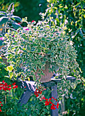 Plectranthus coleoides (Weihrauch), Pelargonium ' Rainbow Red '