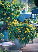 Helichrysum syn. Bracteantha Dazette ' Gold ' (Strohblume), Abutilon