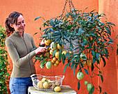 Frau erntet Solanum muricatum ' Pepino ' (Melonenbirne)