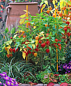 Physalis franchetii (Lampionblume), Carex morrowii (Segge)