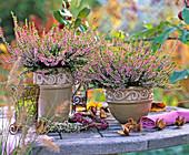 Calluna Garden Girls ' Annette ' (knospenblühende Heide), Kränzchen aus Erica