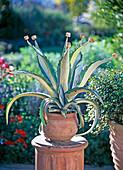 Agave americana (Agave), Korken auf die Dornen gesteckt