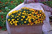 Schutz vor Frühfrösten: Kasten mit Chrysanthemum (Chrysanthemen)