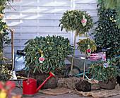 Rhododendron (Alpenrose), Ballenware zum Pflanzen an Beet stehend, Gießkanne