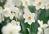 weiße Blüten von Narcissus poeticus 'Actaea' (Dichter - Narzissen)