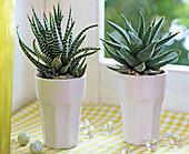 Haworthia, Aloe in weißen, kleinen Porzellantöpfen