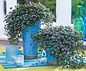 Pilea (Kanonierblume) in blauen Keramiktöpfen