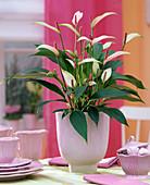 Anthurium andreanum- Hybride (Flamingoblume)