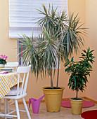 Dracaena marginata 'Bicolor', Dracaena reflexa 'Song of Jamaika'