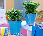 Selaginella martensii 'Jori compact' (Moosfarn) in blauen Töpfen,