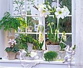 Weißes Winterfenster mit Hippeastrum (weißer Amaryllis), Hyacinthus