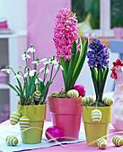 Hyacinthus (rosa und blaue Hyazinthe), Galanthus (Schneeglöckchen)